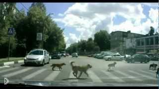 Смотреть онлайн Как звери умеют переходить дорогу