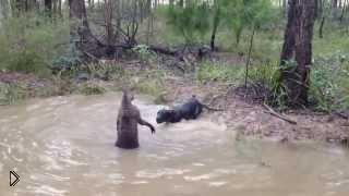 Смотреть онлайн Реальная битва чупакабры с собакой