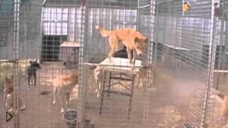 Смотреть онлайн Дикие Динго – самые умные собаки