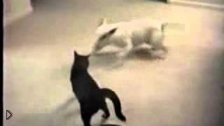 Смотреть онлайн Прикольная собака прыгает перед кошкой