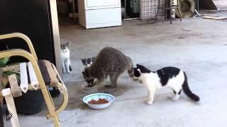 Смотреть онлайн Хитрый енот пришел за едой