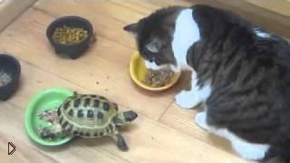 Смотреть онлайн Маленькая черепашка отгоняет котов от еды
