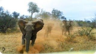 Смотреть онлайн Слоны атакуют автомобиль с туристами