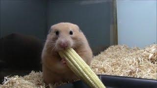 Смотреть онлайн Милый хомячок лопает кукурузу