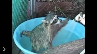 Смотреть онлайн Енот любит купаться в тазике