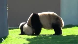 Смотреть онлайн Мама-панда играется со своим малышом
