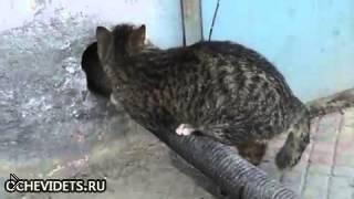 Смотреть онлайн Умный и хитрый кот пролез через стену