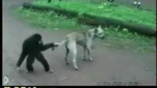 Смотреть онлайн Обезьянка пристает к собаке - дергает ее за хвост и лапы