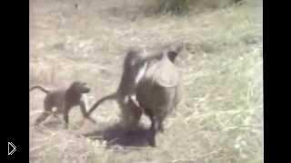 Смотреть онлайн Неуловимая шимпанзе оседлала кабана
