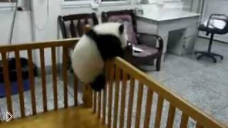 Смотреть онлайн Детеныш панды хочет сбежать с манежа