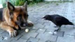 Смотреть онлайн Ворона играет с собакой и хозяином в мяч