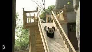 Смотреть онлайн Мишки панды катаются на горке