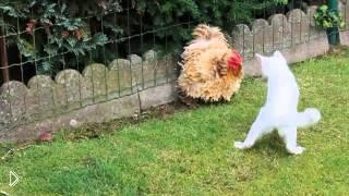 Смотреть онлайн Кот пытается напасть на петуха
