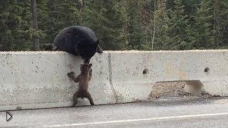 Смотреть онлайн Медведица спасает своего медвежонка от гибели на дороге