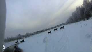 Смотреть онлайн Охота на благородных оленей зимой