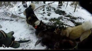 Смотреть онлайн Охота с собаками на кабана