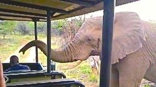 Смотреть онлайн Дикий слон решил поздороваться с туристами