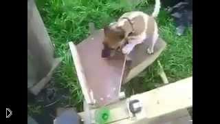 Смотреть онлайн Умная собака играет с тренажером