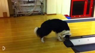 Смотреть онлайн Любопытный пес боится звуков в боулинге