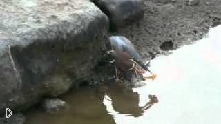 Смотреть онлайн Птичка ловит рыбу на хлеб