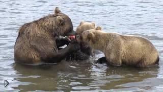 Смотреть онлайн Три медведя ловят рыбу