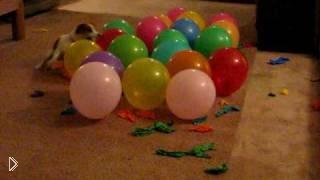 Смотреть онлайн Собака, которая лопнула рекордное количество шаров