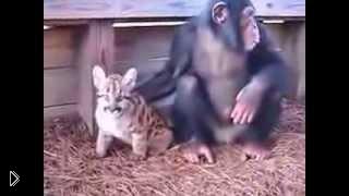 Смотреть онлайн Шимпанзе играет с детенышем пумы