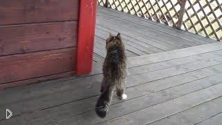 Смотреть онлайн У кота крутая походка