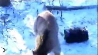 Медведь загнал охотников на дерево и угнал машину - Видео онлайн