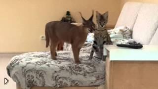 Смотреть онлайн Игра домашних питомцев - рыси каракал и кошки сервал