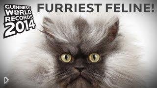 Смотреть онлайн Рекорд Гиннеса: кот с самой длинной шерстью