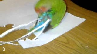 Смотреть онлайн Попугай мечтает стать павлином