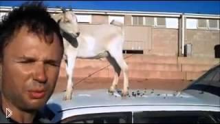 Коза буянит на машине хозяина - Видео онлайн