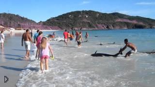 Смотреть онлайн Дельфины выбросились на берег, а люди спасли их