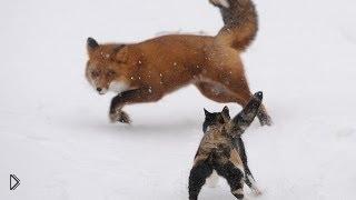 Смотреть онлайн Встреча лисы и кота закончилась дракой