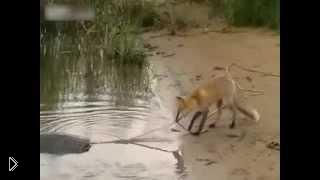 Смотреть онлайн Хитрая лиса вылавливает сома с берега