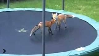 Смотреть онлайн Две лисы играются на батуте