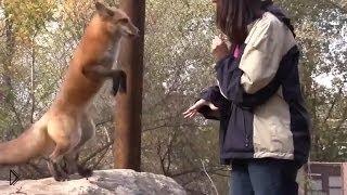 Смотреть онлайн Лиса из зоопарка выполняет команды, как послушный пес
