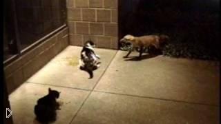 Смотреть онлайн Лиса пытается отобрать корм у кота