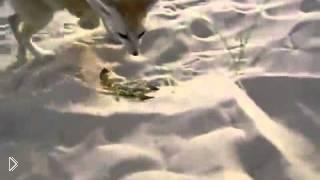 Лиса атаковала и съела скорпиона - Видео онлайн
