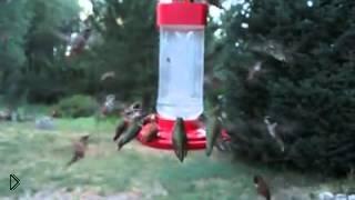 Смотреть онлайн Стайка колибри слетелась попить