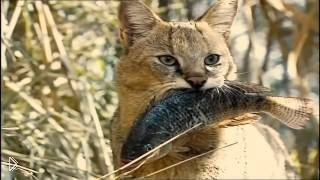 Смотреть онлайн Жизнь камышовых кошек