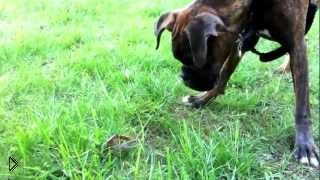 Морской рак ущипнул собаку в нос - Видео онлайн