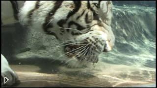 Смотреть онлайн Плавание под водой бенгальского белого тигра