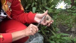 Смотреть онлайн Посадка гибридов луковиц лилии осенью в грунт