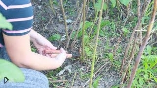 Смотреть онлайн Правильная обрезка малины осенью
