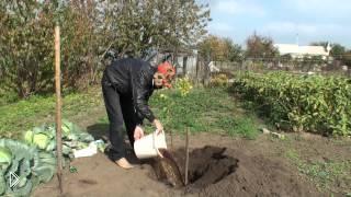 Смотреть онлайн Как правильно посадить саженец яблока-груши