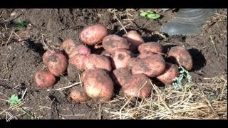 Смотреть онлайн Как самому выращивать картофель под соломой