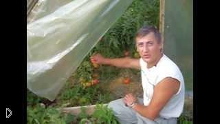 Смотреть онлайн Уход за помидорами в теплице