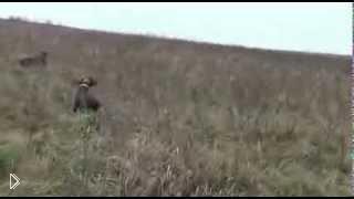 Смотреть онлайн Охота на серую куропатку осенью